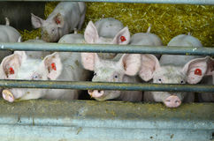 Oostenrijk, de dierlijke landbouw royalty-vrije stock fotografie