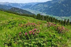 Oostenrijks berglandschap met Alpiene Rozen in de voorgrond Zillertalvallei, de Alpiene Weg van Zillertal, Oostenrijk, Tirol stock afbeeldingen