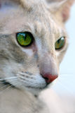 Oosters kattenportret Royalty-vrije Stock Fotografie