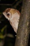 Oosterse Baai Owl Looking Down van Toppositie, Profiel royalty-vrije stock afbeeldingen