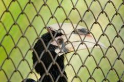Oosterse Bonte Hornbill Royalty-vrije Stock Afbeeldingen
