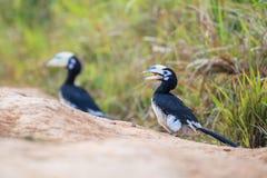 Oosterse Bonte Hornbill stock foto's
