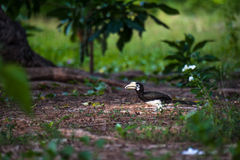 Oosterse bonte hornbill, Thailand Royalty-vrije Stock Fotografie