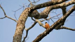 Oosterse Boomvalk, Oriental hobby, Falco severus stock photos