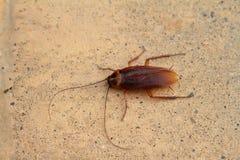Oosterse kakkerlakken en kakkerlakken stock afbeelding