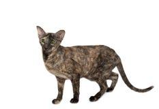 Oosterse kat Stock Foto's