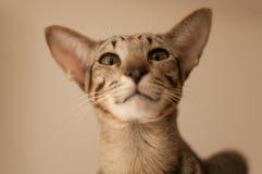 Oosterse kat Stock Afbeelding