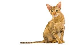 Oosterse kattenzitting die op wit wordt geïsoleerdk Royalty-vrije Stock Afbeelding