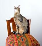 Oosterse kattenzitting op stoel Royalty-vrije Stock Fotografie