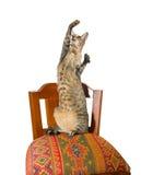 Oosterse kattenzitting op stoel Royalty-vrije Stock Afbeelding