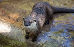 Oosterse klein-gekrabde die otter, Amblonyx-cinereus, ook als de Aziatische klein-gekrabde otter wordt bekend stock fotografie