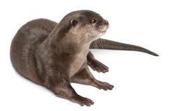 Oosterse klein-gekrabde otter, Amblonyx Cinereus Royalty-vrije Stock Fotografie