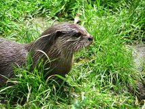 Oosterse klein-gekrabde otter - Zwergotter stock foto