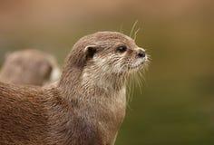 Oosterse kort-Gekrabde Otter royalty-vrije stock fotografie
