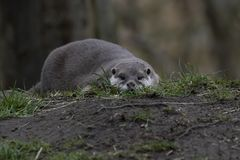 Oosterse kort-Gekrabde Otter, Aonyx-cinereus, die laag bij oogniveau het kijken naar camera leggen royalty-vrije stock fotografie