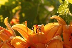 Oosterse Lillies tegen plattelandsachtergrond Royalty-vrije Stock Foto's