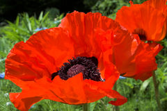 Oosterse papaver in rood stock foto