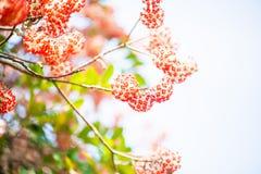 Oosterse paperbush royalty-vrije stock afbeelding