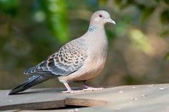 Oosterse Tortel, восточный Черепаха-голубь, orientalis горлицы стоковые изображения