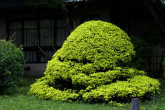 Oosterse verdoyant van de bonsai Stock Afbeelding
