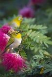 Oosterse wit-oogvogel in rode poeder bleekgele bloemen Stock Afbeeldingen