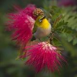 Oosterse wit-oogvogel in rode poeder bleekgele bloemen Stock Foto