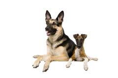 Oosteuropese herdershond met fox-terrier op wit royalty-vrije stock foto's