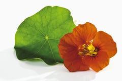 Oostindische kers, blad en bloem Stock Foto's