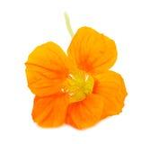 Oostindische kers Oranje bloem Royalty-vrije Stock Foto's