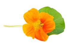 Oostindische kers Oranje bloem Stock Fotografie