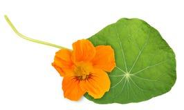 Oostindische kersblad met bloem Stock Afbeeldingen