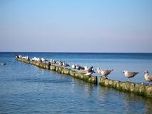 Oostzee. De zeemeeuwen die op de golfbreker en het water zitten bekijken Royalty-vrije Stock Foto
