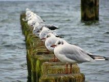 Oostzee - lijn van zeemeeuwen op houten pijlers in het water Stock Afbeelding