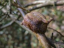 Ootheca богомола прикрепленного в ветвь дерева Конец-вверх яя Mantis в коконе стоковое фото rf