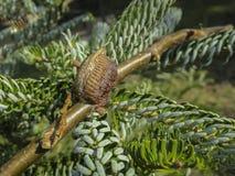 Ootheca del mantide pregante allegato ad un ramo di albero Primo piano delle uova del mantide fotografie stock