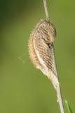 Ootheca dell'insetto fotografie stock libere da diritti