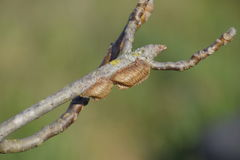 Ootheca mantis on the branches of a tree. The eggs of the insect laid in the cocoon for the winter are laid Stock Photo