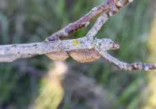 Ootheca mantis on the branches of a tree. The eggs of the insect laid in the cocoon for the winter are laid Stock Images