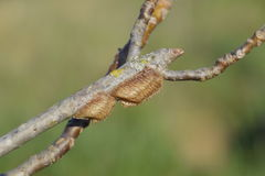 Ootheca mantis on the branches of a tree. The eggs of the insect laid in the cocoon for the winter are laid.  Royalty Free Stock Photos