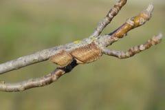 Ootheca modliszka na gałąź drzewo Jajka insekt kłaść w kokonie dla zimy kłaść obraz royalty free