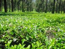 ooty herbaciana nieruchomość Zdjęcie Stock
