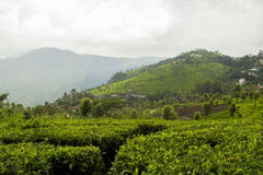 Ooty, India Tea Plantation Stock Image