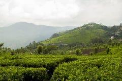 Ooty, Indien-Tee-Plantage Stockbild