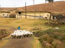 Tamil man guide a herd of sheeps on the countryside of Ooty royalty free stock photos