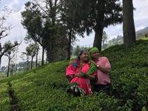 Ooty tea garden royalty free stock image