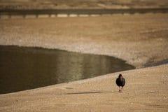 Ooystercatcher marchant sur la plage sablonneuse Photos libres de droits