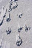 Opérations de crabot dans la neige Photographie stock