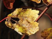 Opóźneni spadków liście w szczególe Zdjęcia Stock