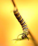 Opóźniona Instar Monarchicznego motyla gąsienica Obrazy Royalty Free