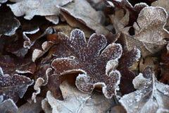 Opóźniona jesień w dębowych liściach Fotografia Stock